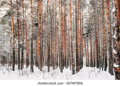 winter forest (pine) in the snow