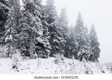 Winter forest ,pine tree covered in the snow