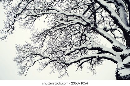 Winter Forest Snow background with Trees