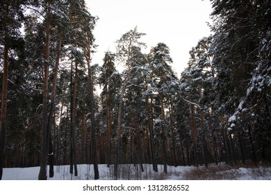 Winter forest, snow drifts. Sunny day.