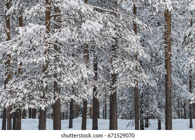 Winter forest with snow on the branches of pine trees