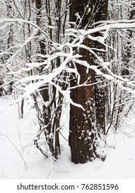 Winter forest. Snow on the trees.