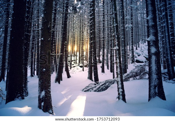 Winter forest with a lot of snow and sunset