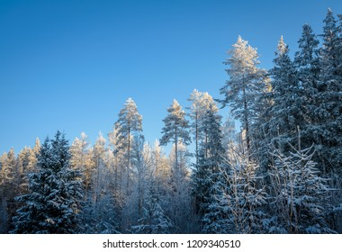 winter forest in snow under clear blue sky