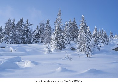 Winter forest with snow-covered fir trees high in the mountains. Sunny February day in the spruce forest.