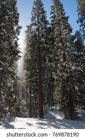 Winter forest with snowy giant sequoias in Sequoia National Park, California, USA