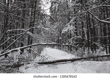 Winter forest, snowy trees, fallen trees blocked the road