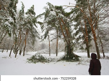 Winter forest, storm broke trees