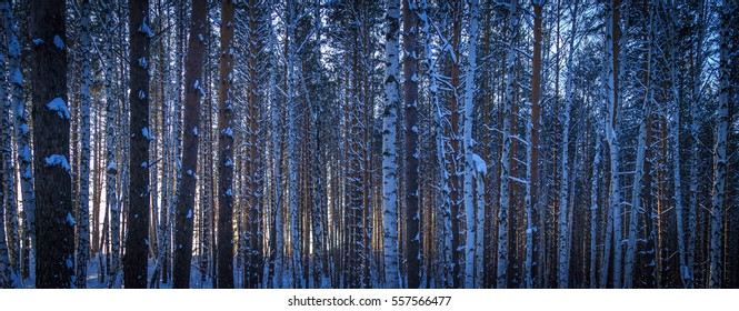 Winter forest in sunny weather during the day