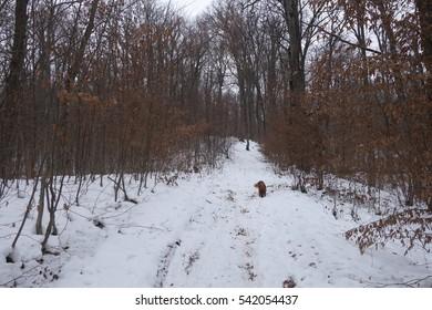 Winter forest. Transcarpathia