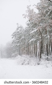 Winter forest view: pine trees, snowfall (background)
