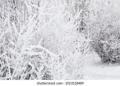 winter forest white