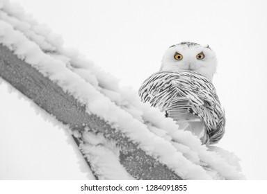 Winter Frost Saskatchewan Canada ice storm Snowy Owl