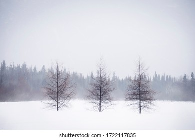 Winter frosty scenery of three dead trees in front of a dark gloomy forest