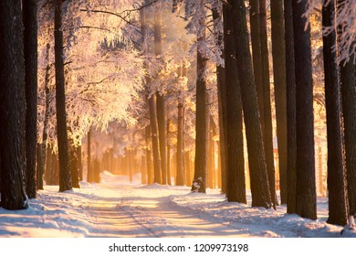 Winter. Frosty trees in forest in sunlight. Winter landscape. Colorful winter forest.