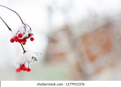 Winter Frozen Viburnum Under First snow Russian beautiful winter