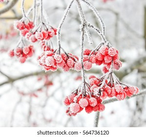 Winter Frozen Viburnum Under Snow. Viburnum In The Snow. First snow. Autumn and snow. Beautiful winter.