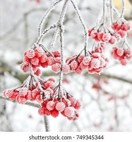 Wintergefrorenes Viburnum unter Schnee. Zuerst Schnee. Herbst und Schnee.