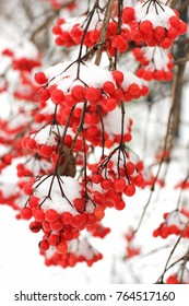 Winter Frozen Viburnum Under Snow. Viburnum In The Snow. First snow. Autumn and snow. Beautiful winter. Winter wind.