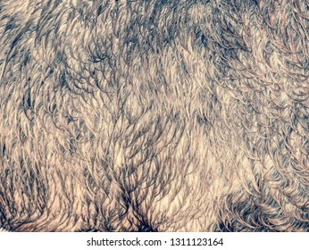 Winter fur or skin of brown horse.  Wet horse hair on back and side in detail. Old horses in ranch paddock