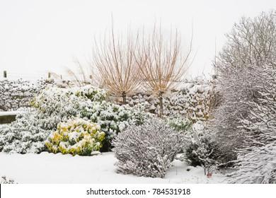 Winter garden border with pollarded willows