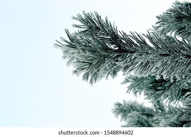 Winter. Gorgeous pine branches covered with snow-white hoarfrost. Background is blue sky.
