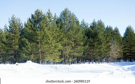 winter green pine forest