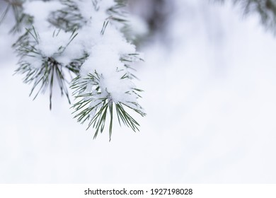 Winter green pine needles background. Fresh juicy foliage in the snow. White forest background of fir tree branches. Perfect for Christmas and New Year design