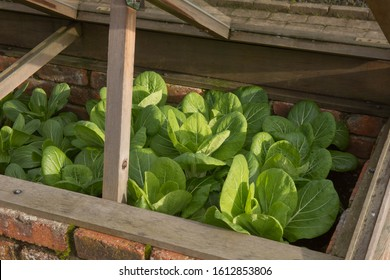 Winter Growing Home Grown Organic Pak Choi or Bok Choy (Brassica rapa var. chinensis 'Blizzard') Growing in a Cold Frame on an Allotment in a Vegetable Garden