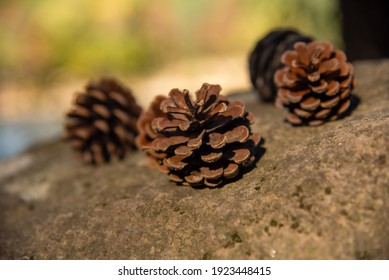 Winter harbinger cones are falling from their trees.
