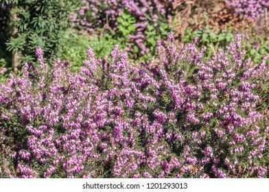 Winter Heath (Erica carnea) in park, Crimea