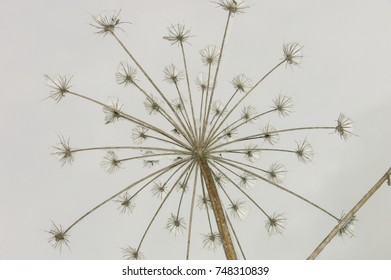 Winter hogweed Close-up