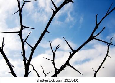 Winter Honey Locust tree thorns.
