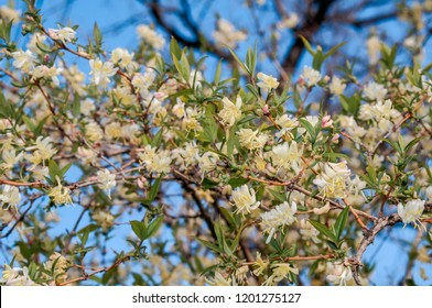 Winter Honeysuckle (Lonicera fragrantissima) in park, Crimea