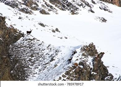 Winter - ibex on the snow