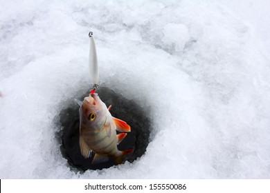 Winter ice fishing perch and hole in ice. winter perch fishing leisure - usual pattern retrieving fish from holes in ice when vertical trolling