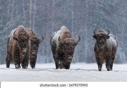 Winter Image With Four Aurochs Or Bison Bonasus, The Last Representative Of Wild Bulls In Europe. Wisent Is A European Endangered Artiodactyl Animal.Ox Hoof Beats