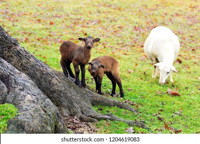 Winter lambs and ewe, lambs playing on the base of an ancient White Oak tree.  Katahdin and Barbados Blackbelly breed mix, family farm, Webster County, West Virginia, USA