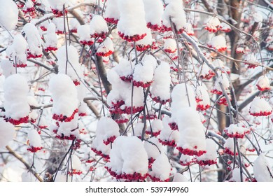 Winter landscape with berries of a mountain ash on a tree with a snow