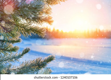 Winter landscape. Bright winter background with frozen pine branches in the sunset sun