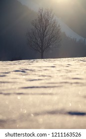 Winter landscape, dominant tree in the sunlight with snowy ground
