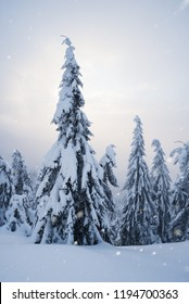 Winter landscape with fir forest in the mountains. Quiet evening with fog and snowfall. Sun shines through the clouds