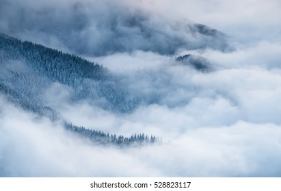 Winter landscape with fog and pine forest in the Carpathian mountains.