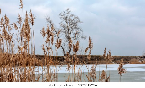 Winter landscape, frozen lake, foreground of reeds, background of a lonely tree