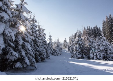 Winter landscape with high spruces mountains Carpathians, Ukraine