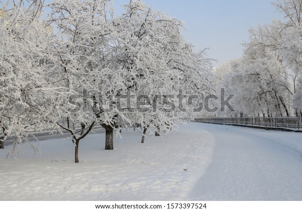 Winter landscape: Large trees covered with snow inin along the road with a fence.
