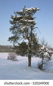 Winter landscape with a lonely, snow-covered pine in the foreground. Closeup.