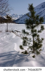 Winter landscape with mountain small pine tree