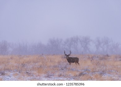 Winter Landscape with Mule Deer Buck. Wild Deer In the Colorado Great Outdoors