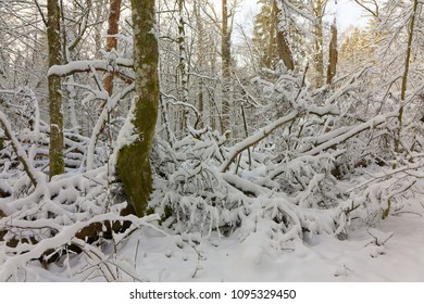 Winter landscape of natural forest with dead oak tree trunk lying and hornbeam tree in foreground,Bialowieza Forest,Poland,Europe